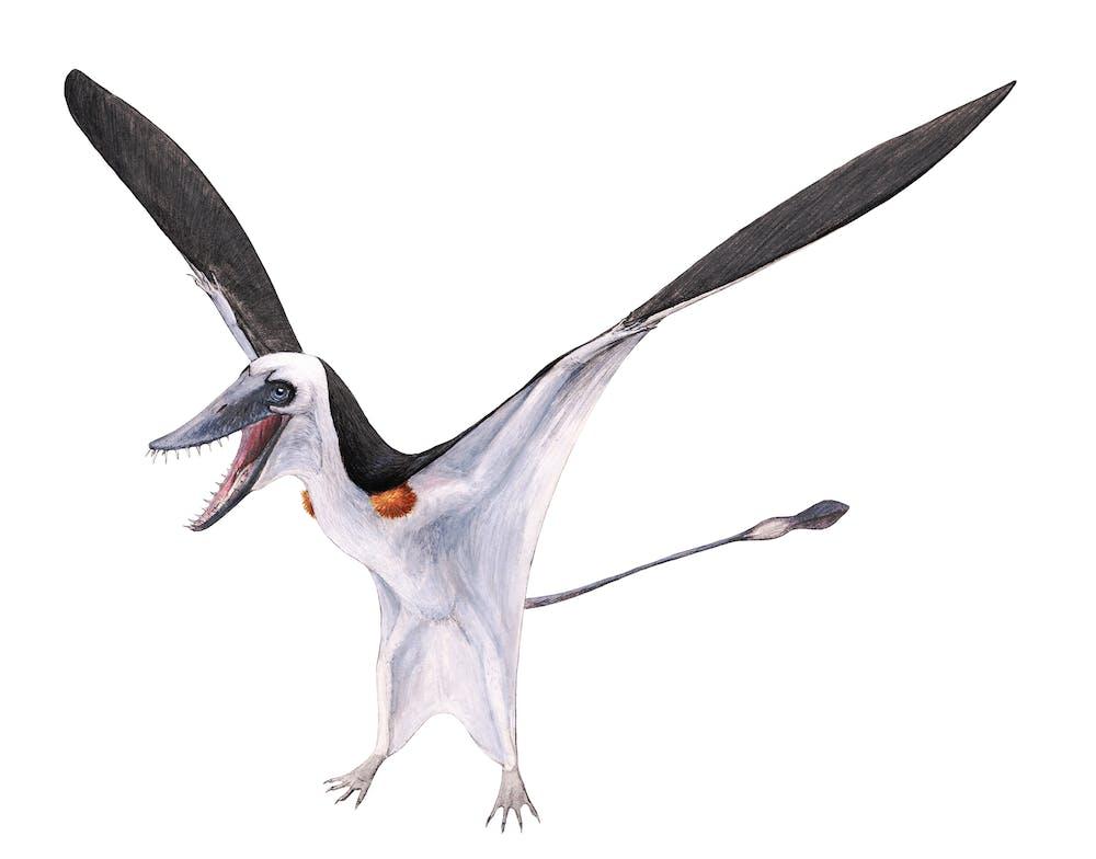 Parapsicephalus
