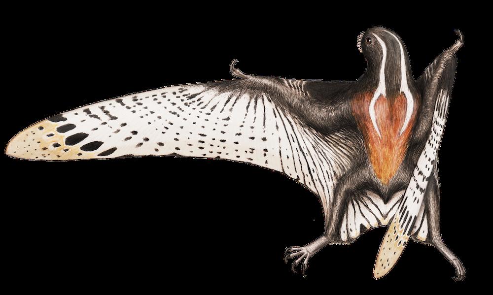 Vesperopterylus